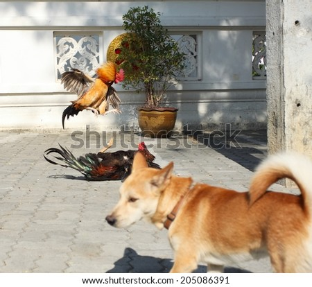 Cocks fighting in the street, Thailand - stock photo