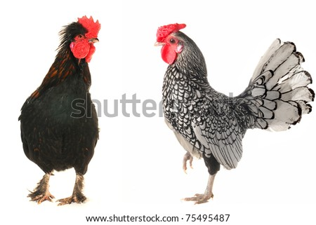 cocks on a white background - stock photo