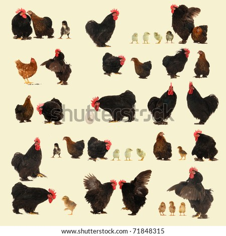 cocks on a yellow background - stock photo