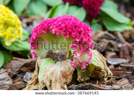 Cockscomb flower, other names - wool flower or brain celosia in a tropical garden.