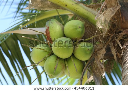 coco anut on coconut tree in garden Thailand,This plant of palm and found throughout in seaside tropical. - stock photo