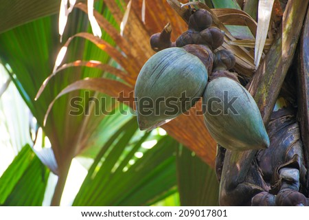 Coco de Mer (Sea Coconut) at palm in famous  nature park Vallee De Mai at Island of Praslin, Seychelles - stock photo
