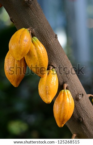 Cocoa (Cacao) pods on tree branch - stock photo