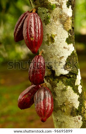Cocoa fruit in the tree, red variety is considered to be the best, shot in Ecuadorian jungle. - stock photo