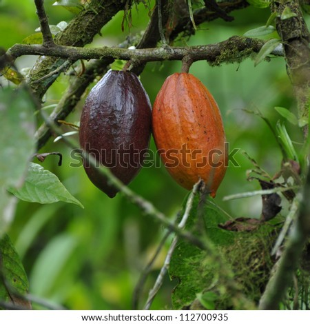 cocoa or cacao pods on the tree - stock photo