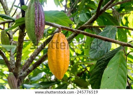 Cocoa pods on a cacao tree in Mindo, Ecuador - stock photo