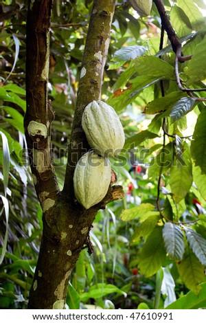 cocoa tree and pods - stock photo