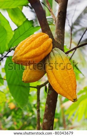 Cocoa tree with pods, Bali island, Indonesia - stock photo