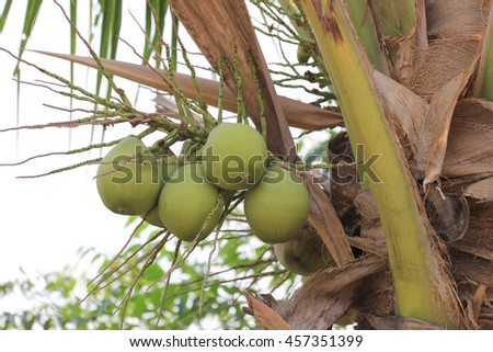 cocoanut on coconut tree in garden Thailand,This plant of palm and found throughout in seaside tropical. - stock photo