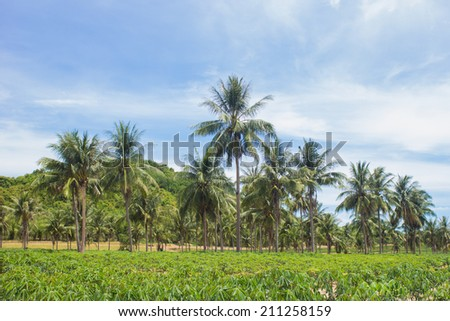 Coconut and cassava farm