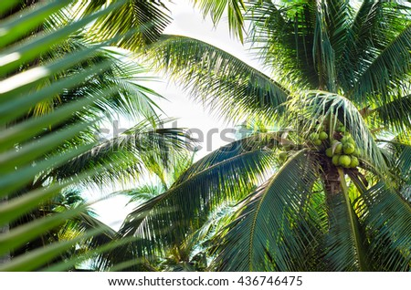 Coconut cluster on Coconut tree.Photos closer coconut tree on the sea sky bright atmosphere Coconut cluster on coconut tree - stock photo