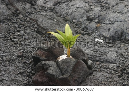 Coconut growing in lava rock - stock photo