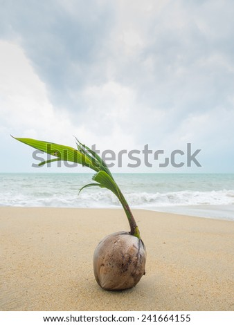 Coconut growing on the tropical beach in Thailand