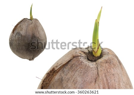 Coconut is sprouting isolated - stock photo