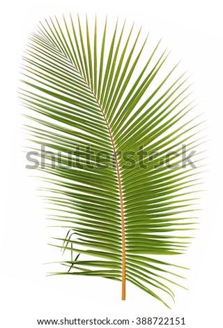 Coconut leaf isolated on white background - stock photo