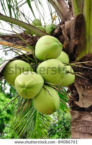 Coconut on tree P - stock photo