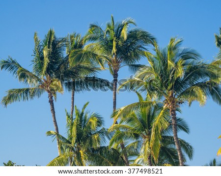Coconut Palm (Cocos nucifera) is a large palm with pinnate leaves.