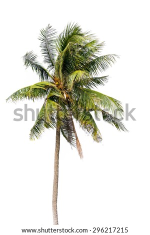 Coconut palm tree, Coco green leaves isolated on over white background - stock photo