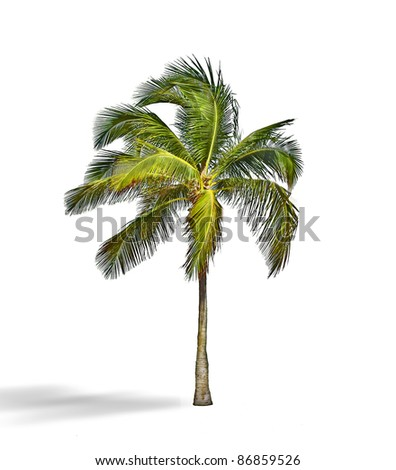 Coconut palm tree, Cocos Nucifera,  with green leaves isolated on white background - stock photo