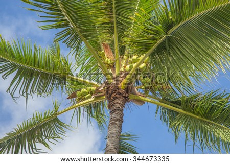 Coconut Palm Tree.  Hawaiian coconut palm tree with ripe coconuts in warm,brisk, trade winds against a blue and white sky. - stock photo