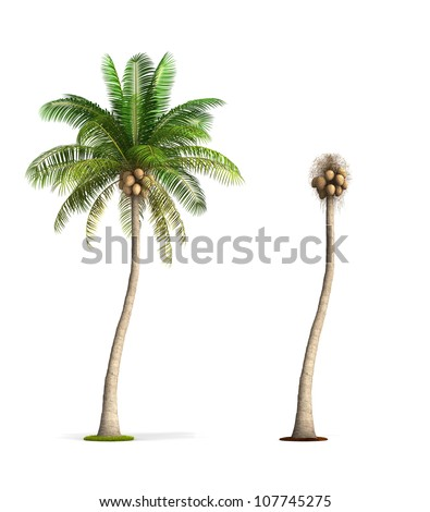 Coconut Palm Tree. High resolution image isolated on white. More trees are available on our portfolio. - stock photo