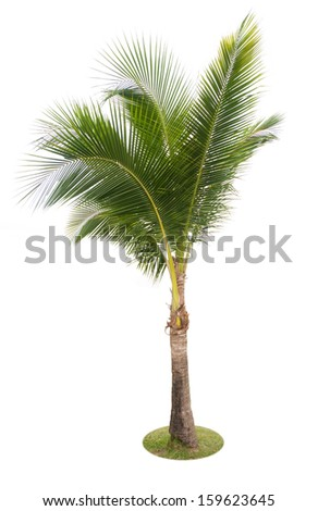 coconut palm tree isolated on white background with clipping path