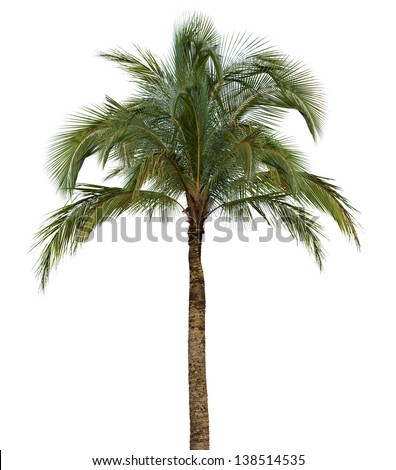 Coconut palm tree isolated on white background without fruit - stock photo