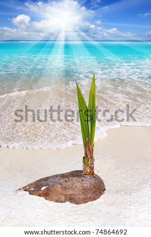 Coconut palm tree sprout growing in Caribean tropical beach shore sand [Photo Illustration]
