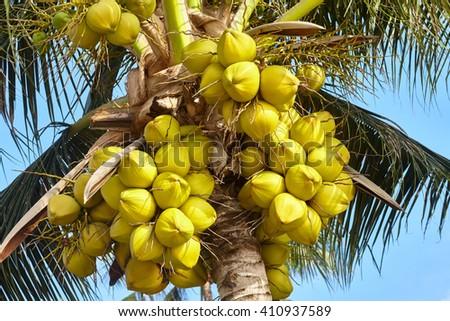 Coconut palm tree under blue sky - stock photo