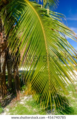 Coconut Palm trees in the Florida Keys - stock photo