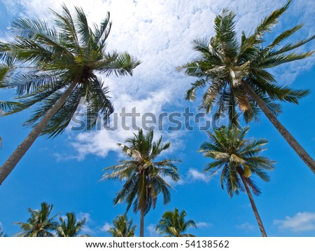 Coconut Palm Trees on Koh Chang, Thailand