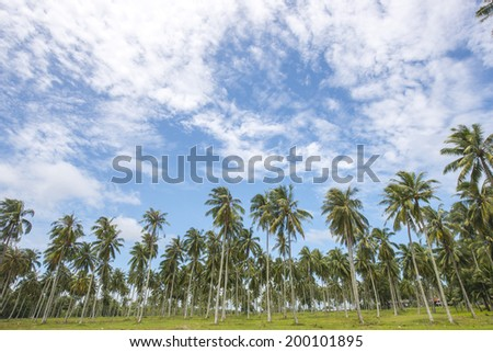 coconut palm trees with blue sky