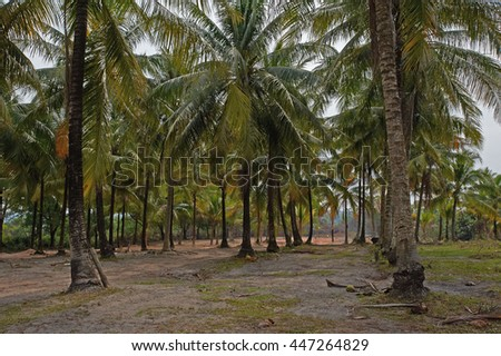 Coconut palm wood in Cambodia