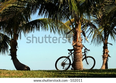 Coconut palms along a walkway, with a bicycle. - stock photo