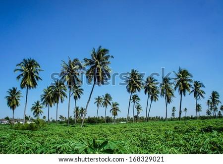 Coconut plantation and cassava farm in thailand - stock photo