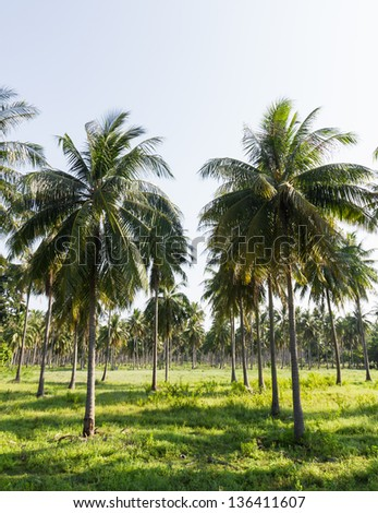 Coconut plantation on the Samui Island in Thailand