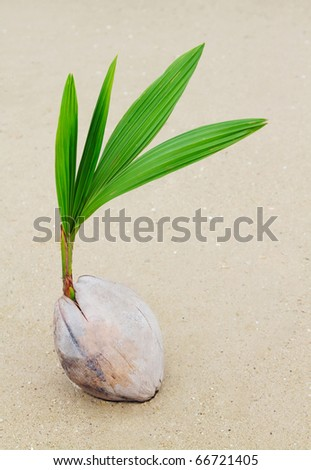 Coconut sprout on the beach - stock photo