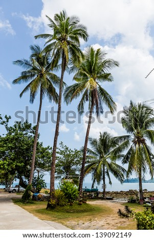 Coconut/Three coconut trees sky background.
