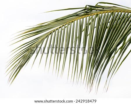 Coconut three, or coconut palm. - stock photo