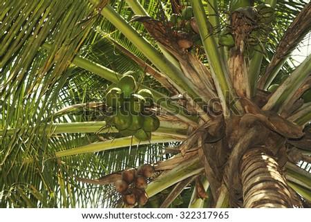 Coconut Tree - stock photo