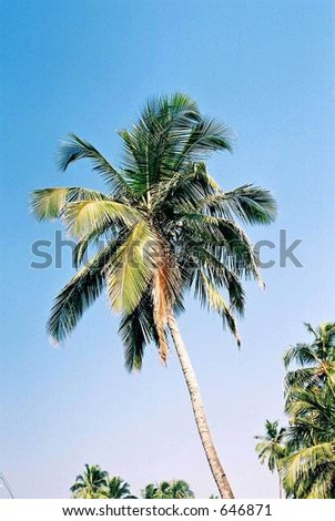 coconut tree at dona paula, Goa, India