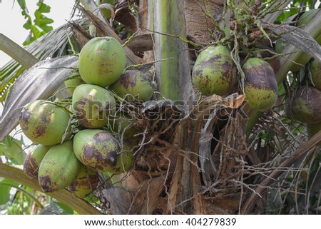 Coconut tree.Coconut cluster on Coconut tree.Closer coconut tree on the sea sky bright atmosphere Coconut cluster on coconut tree - stock photo