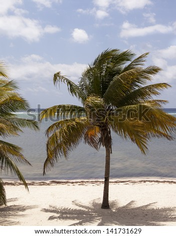 COCONUT TREE , GRAND CAYMAN, CAYMAN ISLANDS, SEVEN MILE BEACH - stock photo