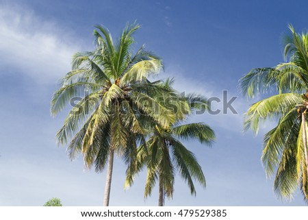 coconut tree in clearly sky