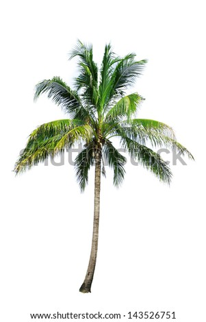 coconut tree isolate on white background - stock photo