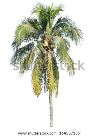Coconut tree isolated on white background  - stock photo