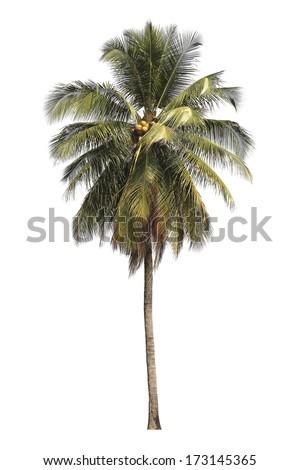 Coconut tree isolated on white background. - stock photo