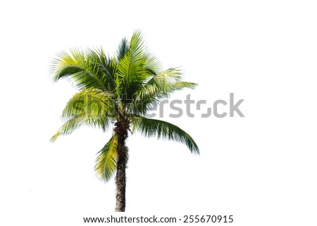 Coconut tree isolated on white background - stock photo