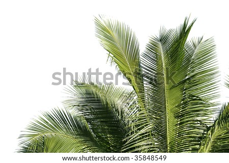 Coconut tree leaves - stock photo