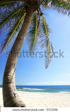Coconut tree on Mexican coast